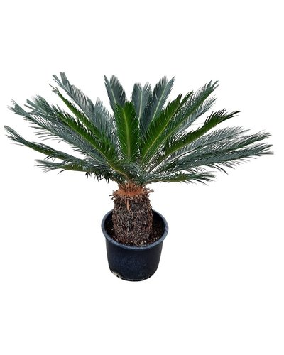 Cycas revoluta (stam 10-20 cm)