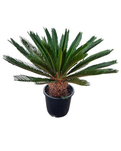 Cycas revoluta (stam 20-30 cm)