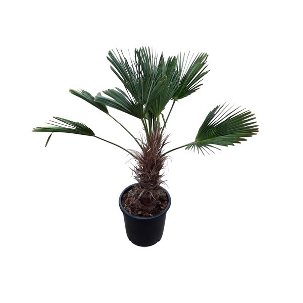 Trachycarpus wagnerianus (stamhoogte 40-50 cm )
