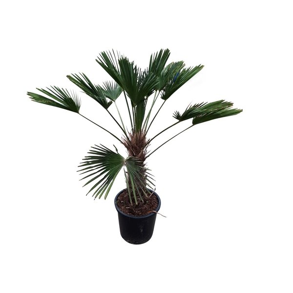 Trachycarpus wagnerianus (stamhoogte 50-60 cm)