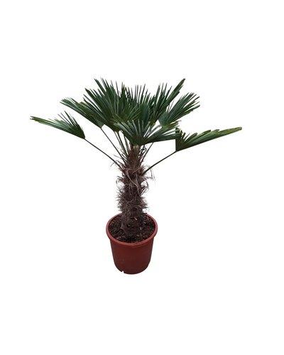 Trachycarpus wagnerianus (stamhoogte 60-70 cm )