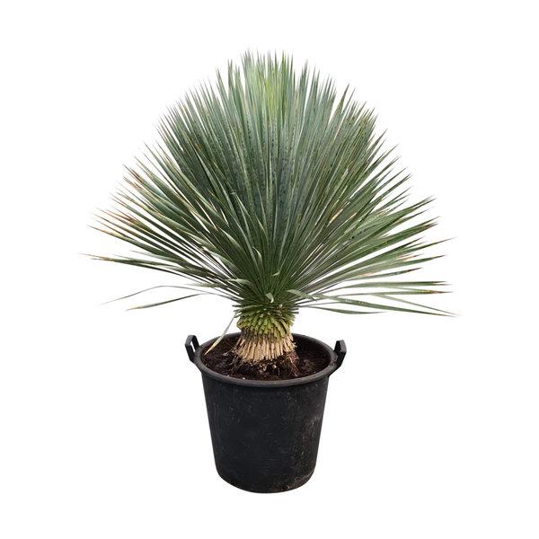"""Yucca rostrata """"Superior"""" 80-90 cm"""