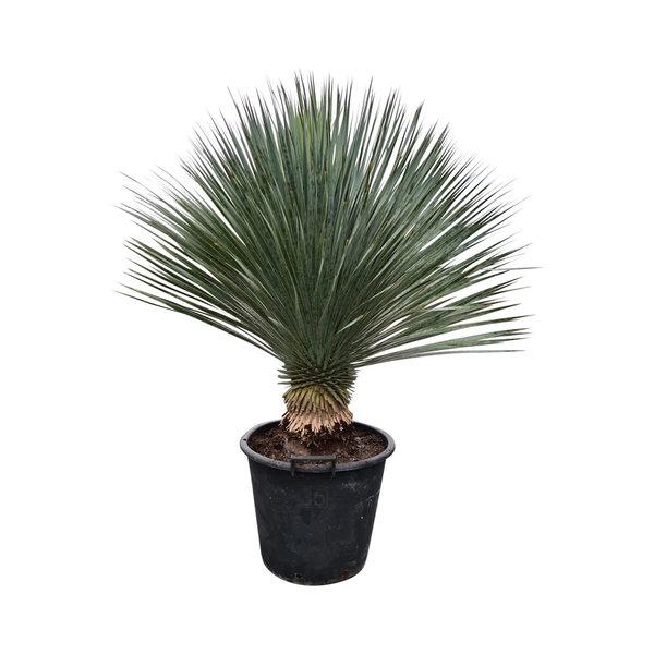 """Yucca rostrata """"Superior"""" 90-100 cm"""