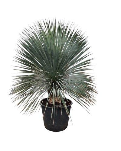 """Yucca rostrata """"Superior"""" 130-140 cm"""