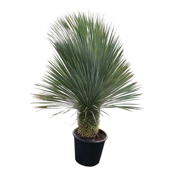 """Yucca rostrata """"Superior"""" 150-160 cm"""