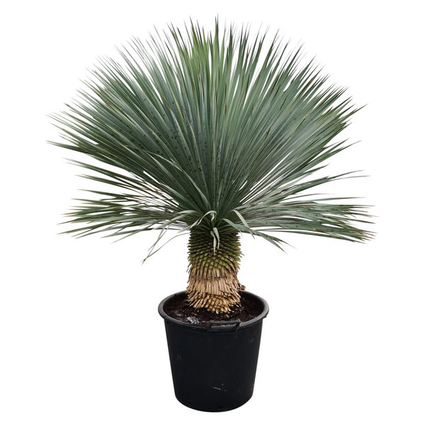 """Yucca rostrata """"Superior"""" 110-120 cm"""