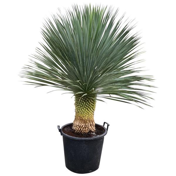 """Yucca rostrata """"Superior"""" 120-130 cm"""