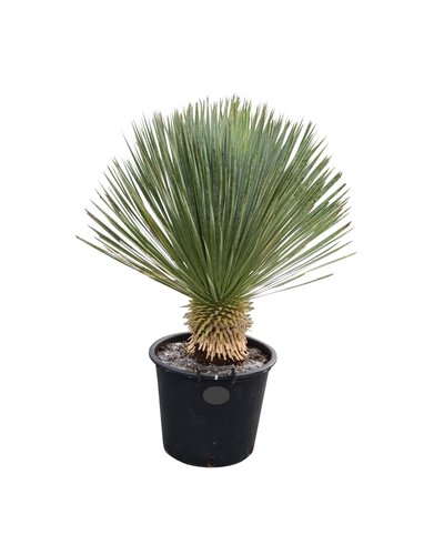 """Yucca rostrata """"Superior"""" 70-80 cm"""