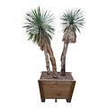 Yucca rostrata (monsterpiece)