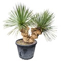 "Yucca thompsoniana ""Multitrunc"" (YTH-3)"
