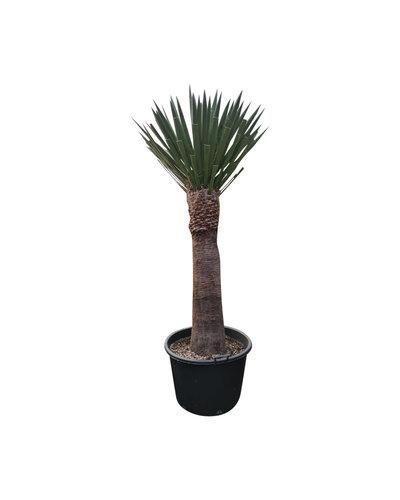 Yucca faxoniana (YFA-5)