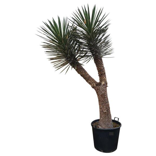 "Yucca filifera ""Multihead"" (YFM-16)"