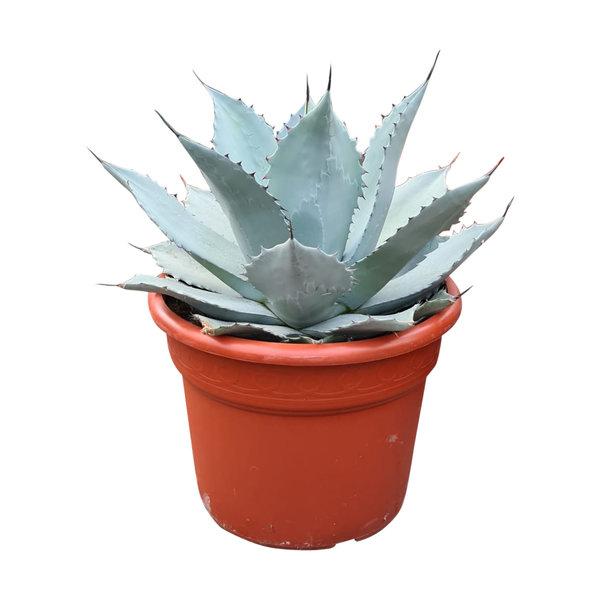 """Agave truncata """"hybride"""" (pot C-35)"""