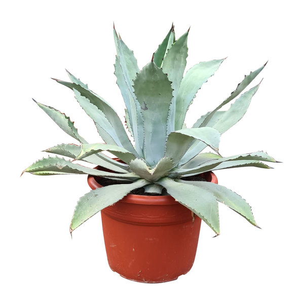 Agave nussaviorum (pot C-35)