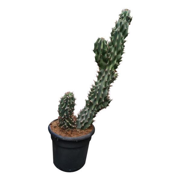 """Cereus peruvianus """"Monstruosus"""" (60-70 cm)"""