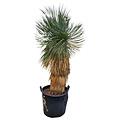 """Yucca rostrata """"Hidra""""  (NO:15)"""