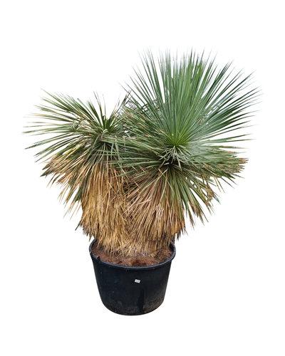 """Yucca rostrata """"Hidra"""" (NO:39)"""