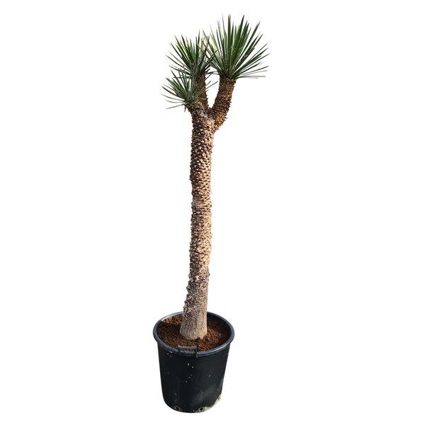 "Yucca filifera ""Multihead""  (YFM-6)"