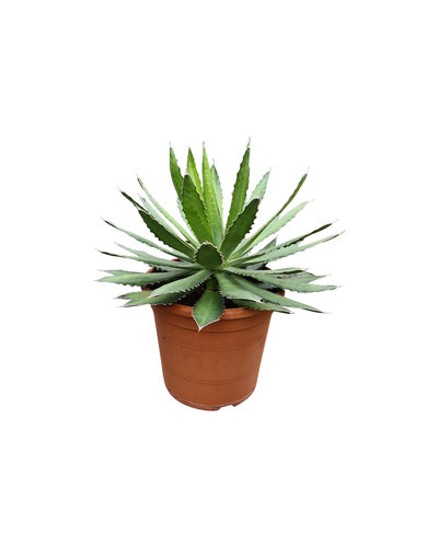 Agave lophanta (pot C-30)