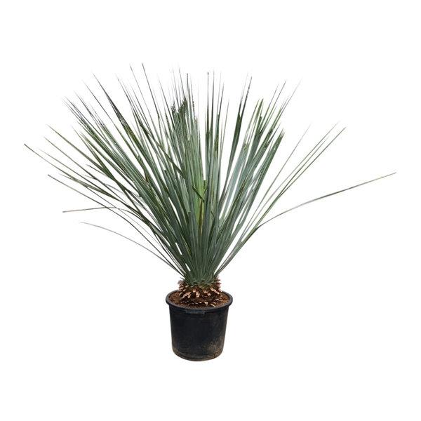 Dasylirion glaucophyllum 110-130 cm