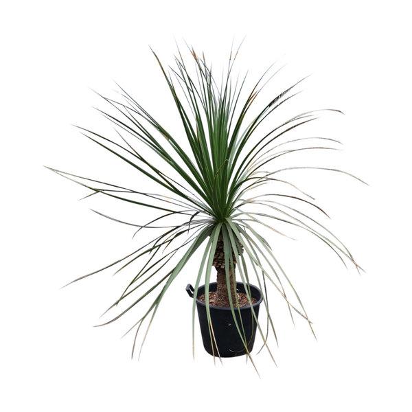 Nolina longifolia LARGE