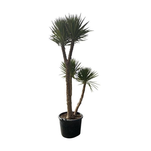 "Yucca aloifolia ""Monsterpiece"""