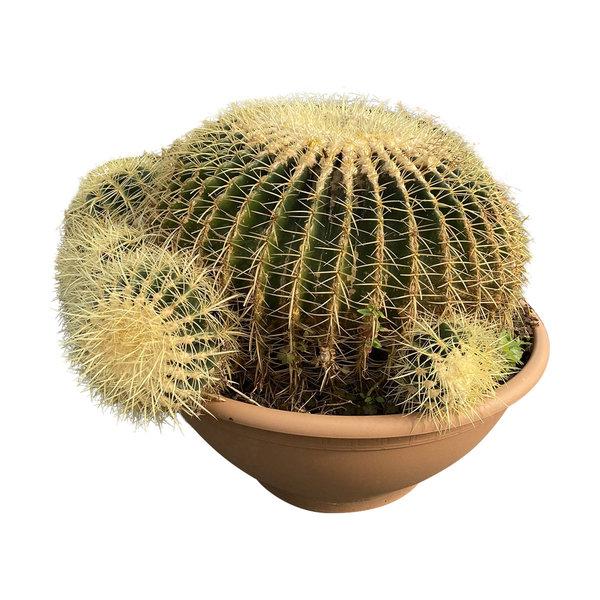 "Echinocactus grusonii ""Multihead"" (schaal 60 cm)"