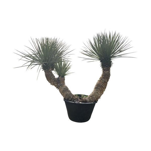 """Yucca rigida """"Multi"""" XXL"""