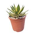 "Agave lophanta ""Variegata"" (pot C-23)"