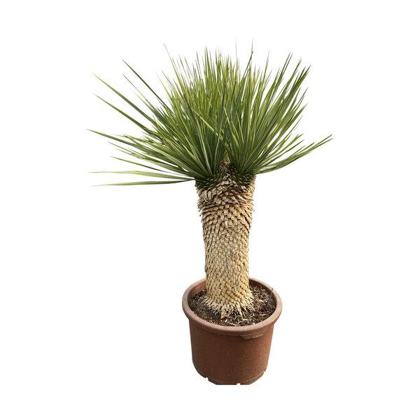 "Yucca thompsoniana ""Multihead"""