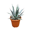 Agave palmeri (pot C-30)