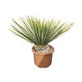 Yucca whipplei (pot 30 liter)
