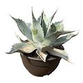 """Agave ovatifolia """"Iced Heart"""" (schaal 25 cm)"""