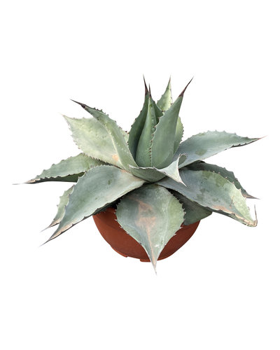 "Agave ovatifolia ""Whale Tongue"" (schaal 25 cm)"