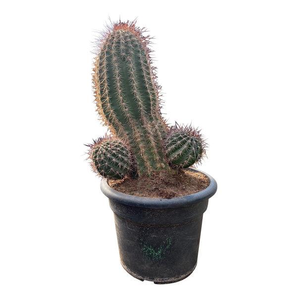 Trichocereus grandiflora (TRI-1)