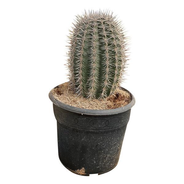 Pachycereus pringlei 30 cm