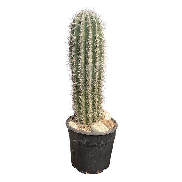 Pachycereus pringlei 60 cm