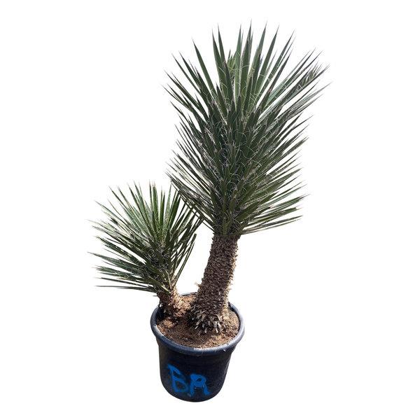 "Yucca filifera ""Multitrunc"" (YF2-1)"