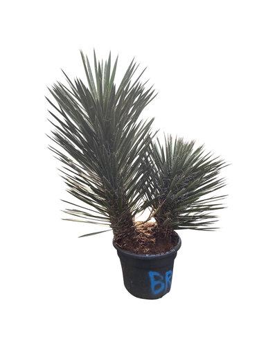 "Yucca filifera ""Multitrunc"" (YF2-2)"