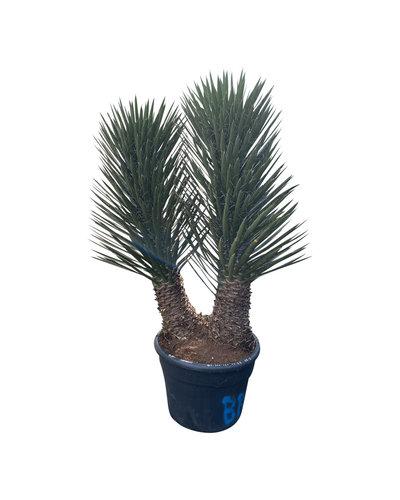 "Yucca filifera ""Multitrunc"" (YF2-4)"