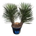 "Yucca filifera ""Multitrunc"" (YF2-5)"