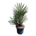 "Yucca filifera ""Multitrunc"" (YF2-6)"