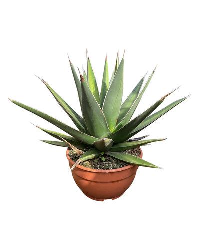 Agave triangularis (schaal 25 cm)