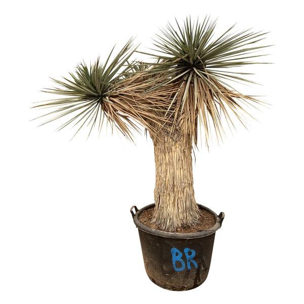 """Yucca rigida """"Multihead"""""""