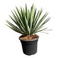 "Yucca gloriosa ""Lone star"" (pot 20 liter)"