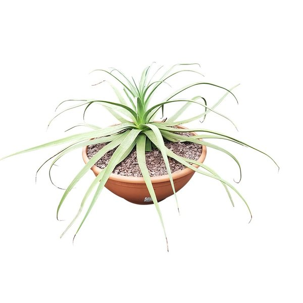 Agave bracteosa (schaal 50 cm)