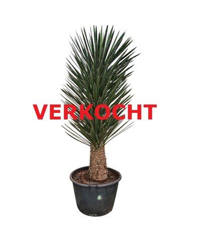 Yucca filifera australis (YFS-2)