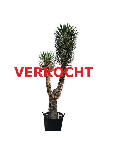 "Yucca filifera ""Multihead""  (YFM-3)"