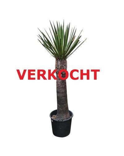 Yucca faxoniana (YFA-11)