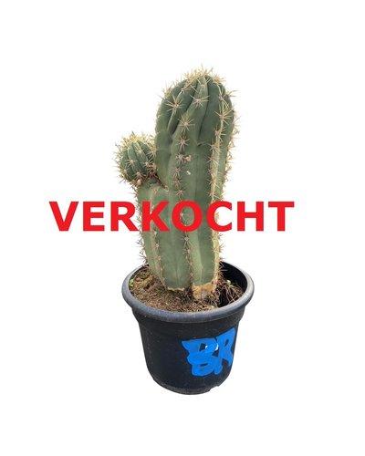 Echinopsis pasacana (EPA-6)